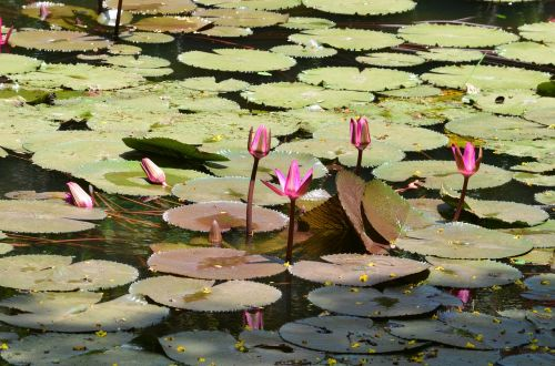 lily pads lotus flower