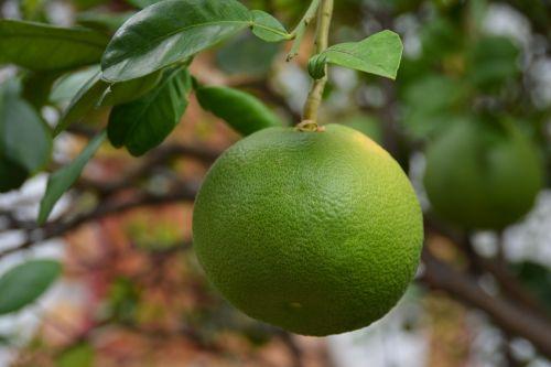 kalkės,Citrusinis vaisius,citrusiniai,šviežias,maistas,žalias,vaisiai,mityba,sveikas,ekologiškas,sultingas,vegetariškas,rūgštus,natūralus,ingredientas,atogrąžų,atsipalaidavimas,rūgštus,apvalus,prinokę,paruošta,lapai,augalas,gamta,derlius,augimas,pasėlių,ūkininkavimas,auga