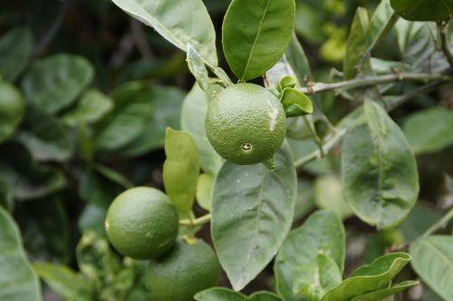 kalkės,Citrusinis vaisius,vaisiai,rūgštus,žalias,vitaminai,frisch,citrusiniai,vitaminhaltig,maistas,vitamino C,medis,augalas