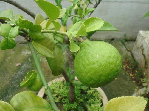 lime citrus hystrix kaffir lime