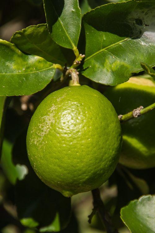 lime tahitian lime citrus