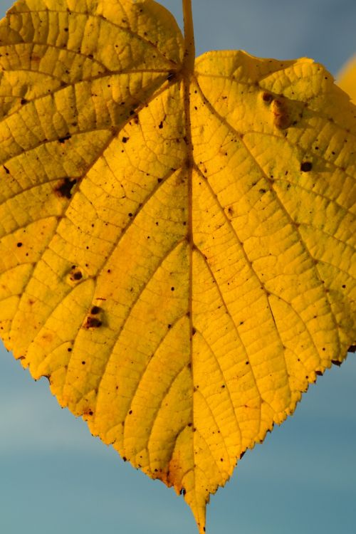 lime leaf autumn yellow
