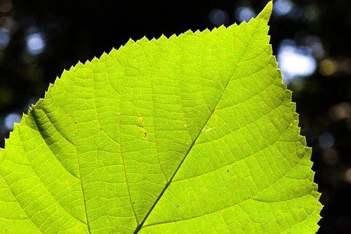lime leaf  leaf  tree
