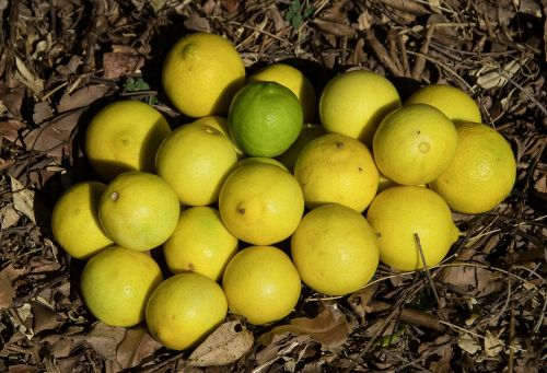 limes tahitian lime persian lime