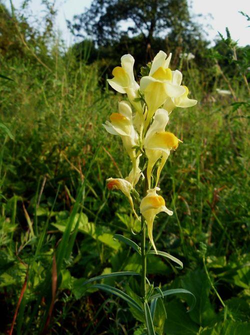linaria vulgaris butter and eggs flower