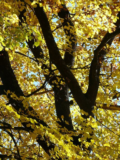 linde stone lime tree lime tree