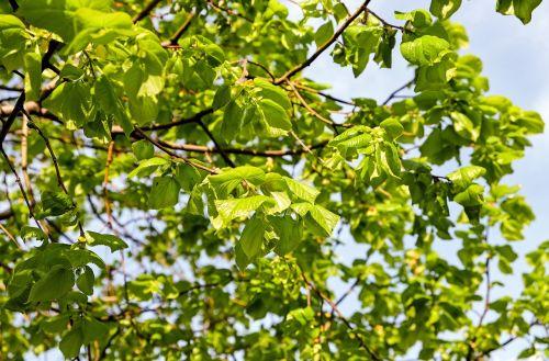 linde lipovina light green