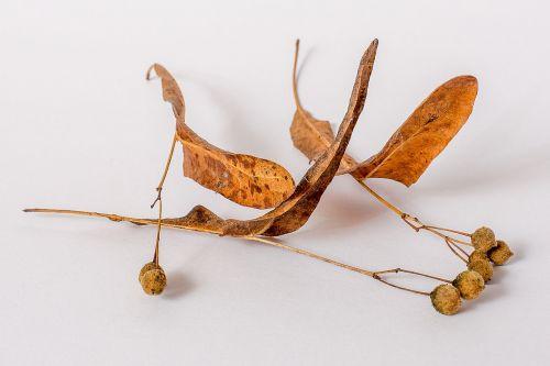 linde tree linden seeds