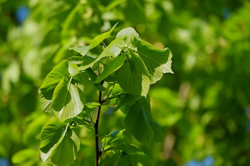 linde  lime  deciduous tree