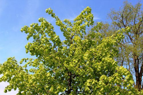 linde tree peace linde