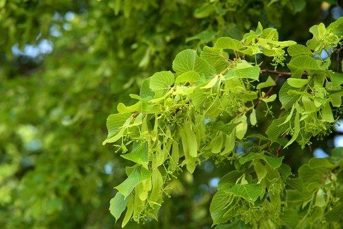 linde  aesthetic  tree