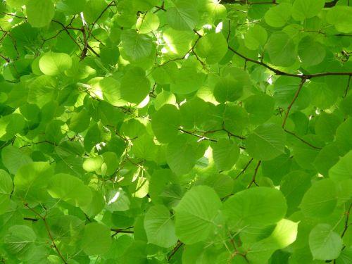 linde lipovina foliage