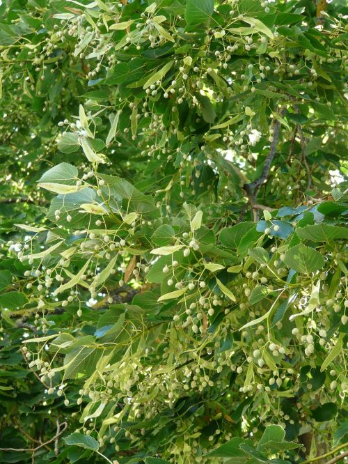 linde tree linden seeds