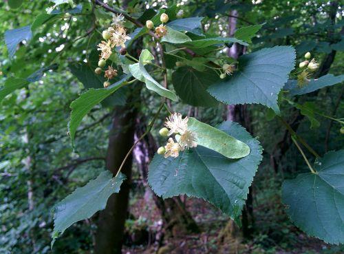 linden lime flower blossom