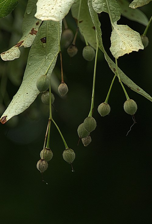 linden flowers fruit  infructescence  cover sheet