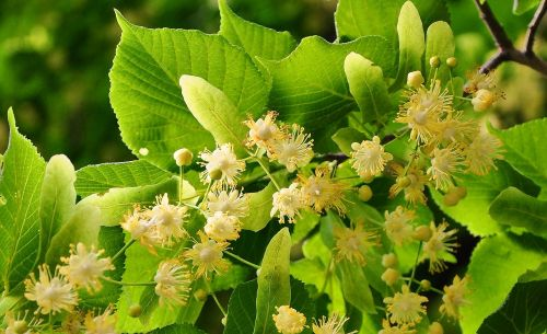 linden tree small-leaved herb