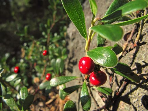 lingonberry cowberry red whortleberry