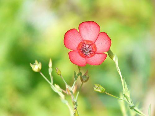 linum grandiflorum,raudona lein,žiedas,žydėti,gėlė,raudona,permatomas,šviesiai raudona,rožinis,šviesiai rožinė,prachtlein,lein,linum,erdvus,filigranas,švelnus
