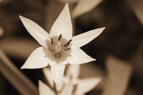 linux tulip  wild tulip  tulipa turkestanica