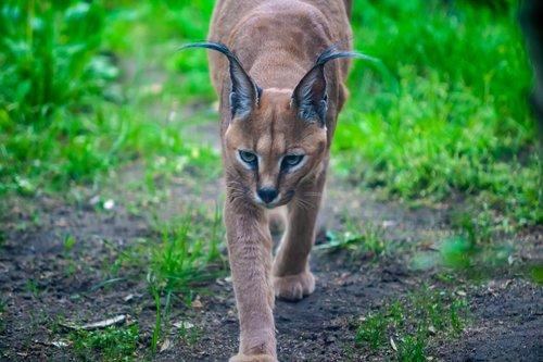 linx  cat  wildcat