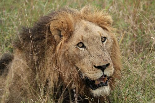 lion lion head male lion