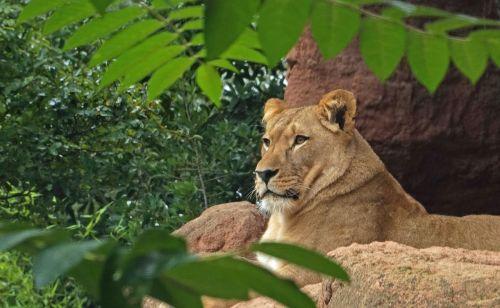 lion predator cat