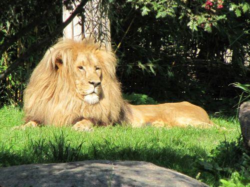 lion males zoo leipzig