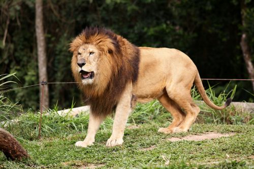 lion king of the jungle animal