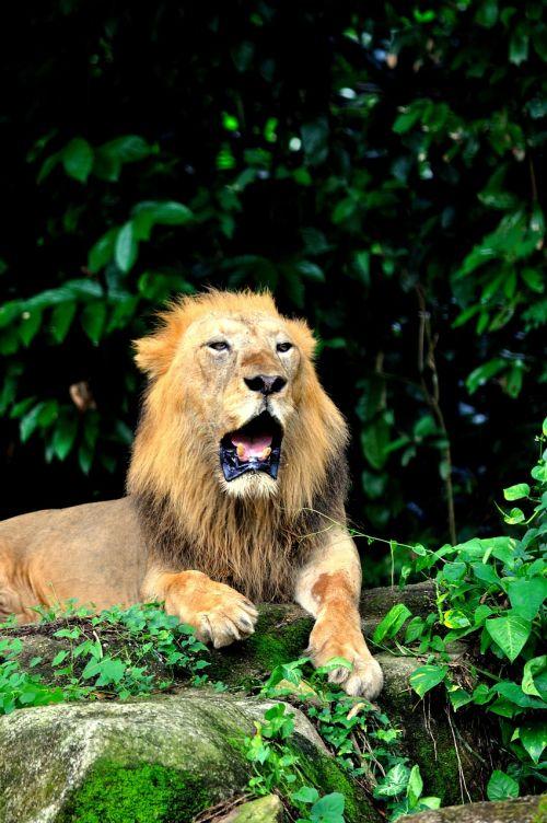 lion yawn bored
