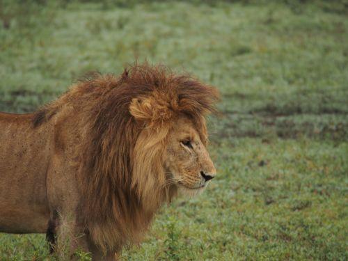 lion africa lion's mane