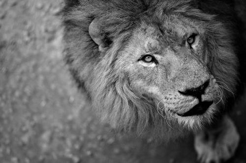 liūtas,laukinė gamta,žiaurus,gyvūnas,laukinis žvėris,karalius,laukinė gamta,liūtys