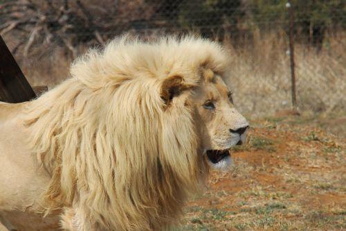 lion predator world pilanesberg national park