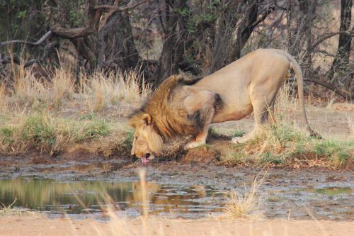 lion thirsty water