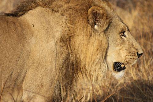 lion king cat