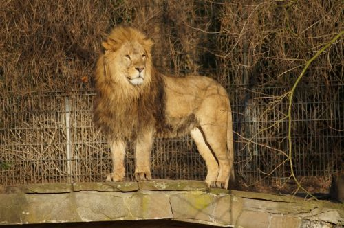 lion zoo cat