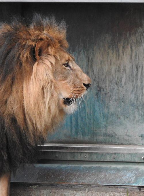 lion predator mane