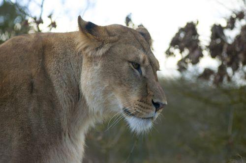 lion zoo lioness