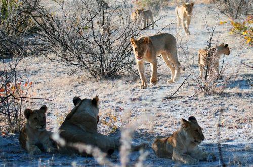 lion etosha namibia