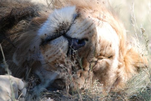 lion kalahari kalahari lion