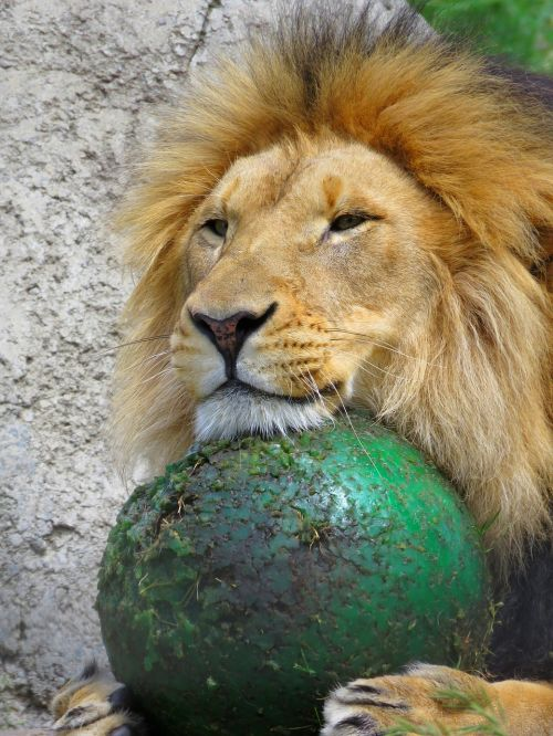 lion calgary zoo lion with ball
