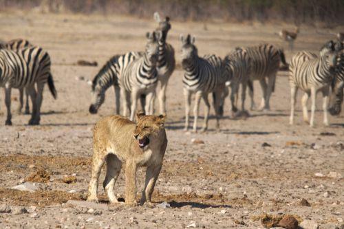 lion namibia zebras