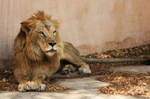 lion indian lion light brown lion