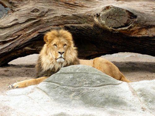 lion lions male lion's mane