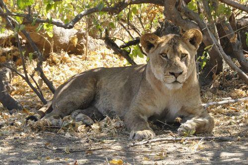 lion botswana chobe