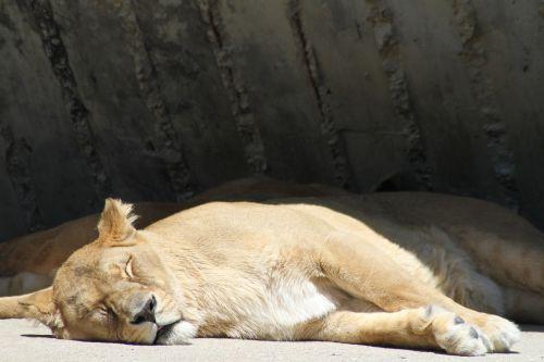 liūtas,poilsis,miega,pavargęs