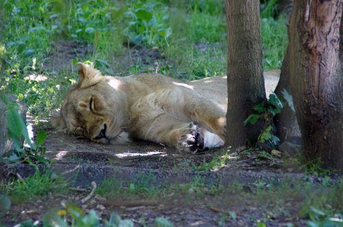 lion nature zoo