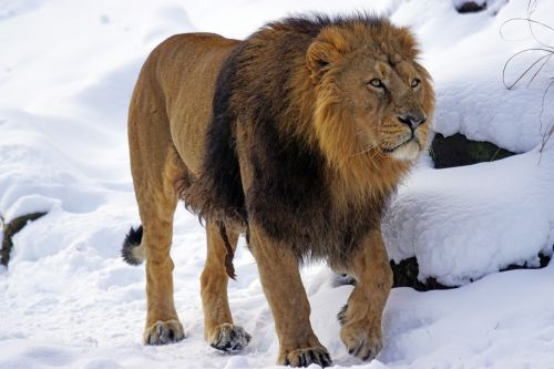 lion male indian