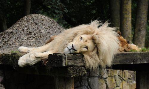 lion males mane