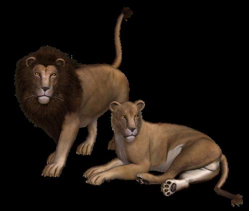 lion lioness wild