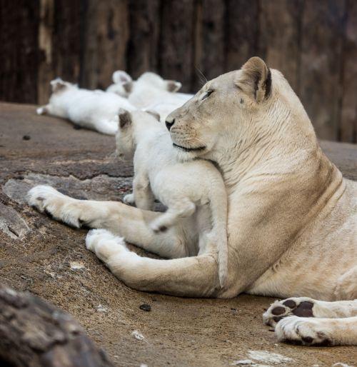 lion white lion big cat